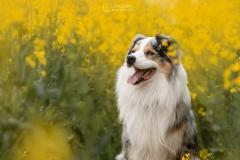 chien-berger-australien-colza-julie-crenn