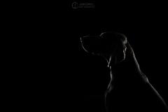 chien-studio-weimar-julie-crenn