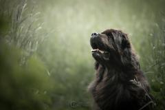 chien-terreneuve-julie-crenn